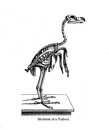 19º c grabado en blanco y negro skelton de un buitre :La historia de los pájaros 1890
