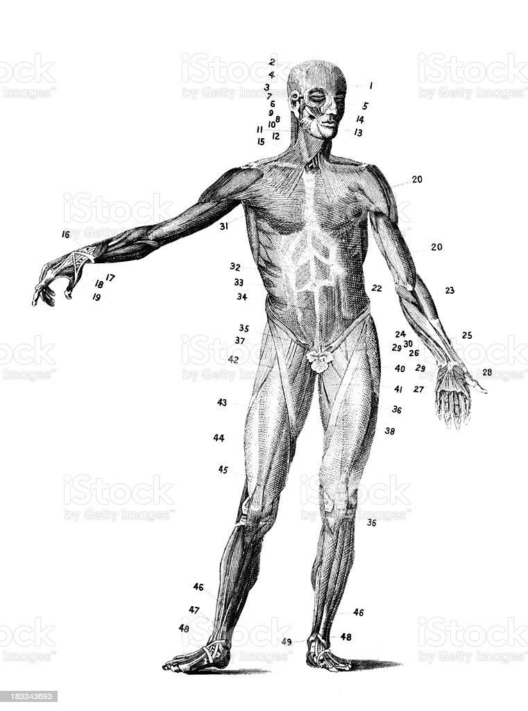 19 Jahrhundert Eine Anatomische Gravur Des Menschlichen Körper ...
