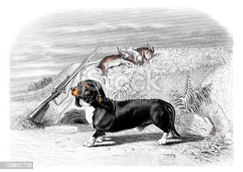 19th century colour engraving of a basset hound.  Photographed from the book title 'Oeuvres Completes de Buffon', published in France in 1830-1832.  Copyright has now expired on this artwork.