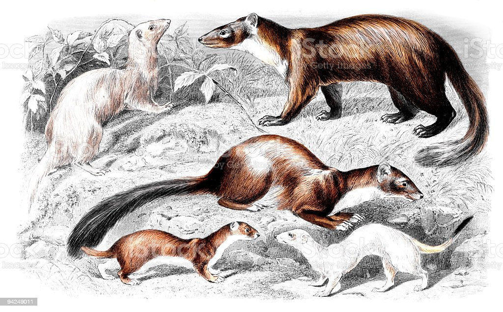 19th Century Colour Engraving Of A Ferret Weasel Stone Marten Stock ...