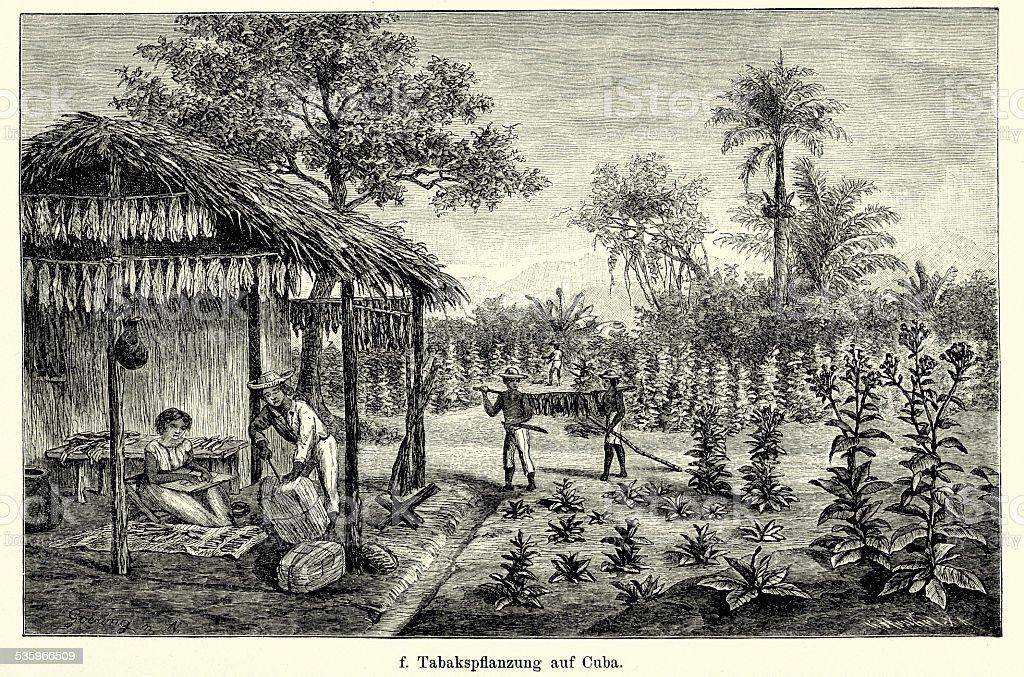 19th Century Cuba - Tobacco plantation vector art illustration