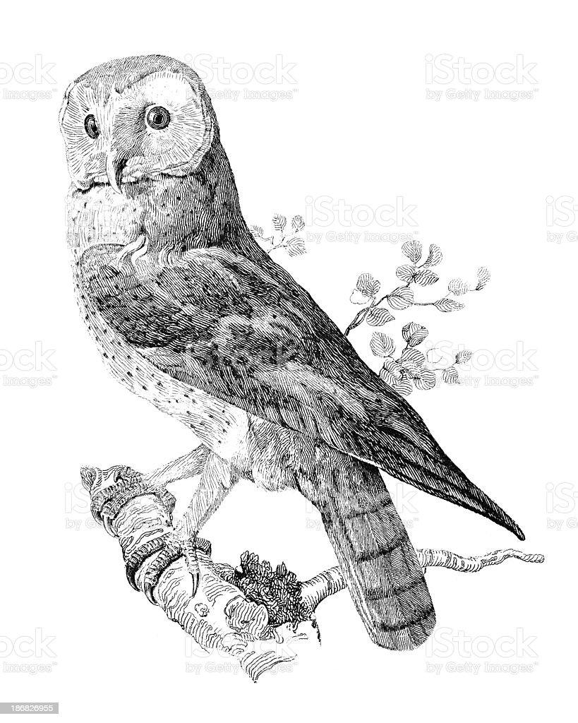 19th century engraving of a barn owl向量藝術插圖