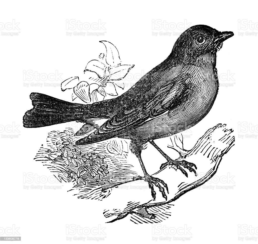 19th century engraving of a blue bird stock vector art 133608278