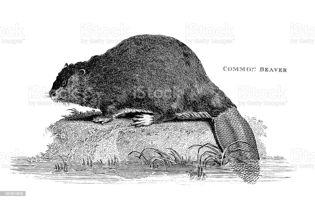 19th century engraving of a 'Common Beaver' vector art illustration