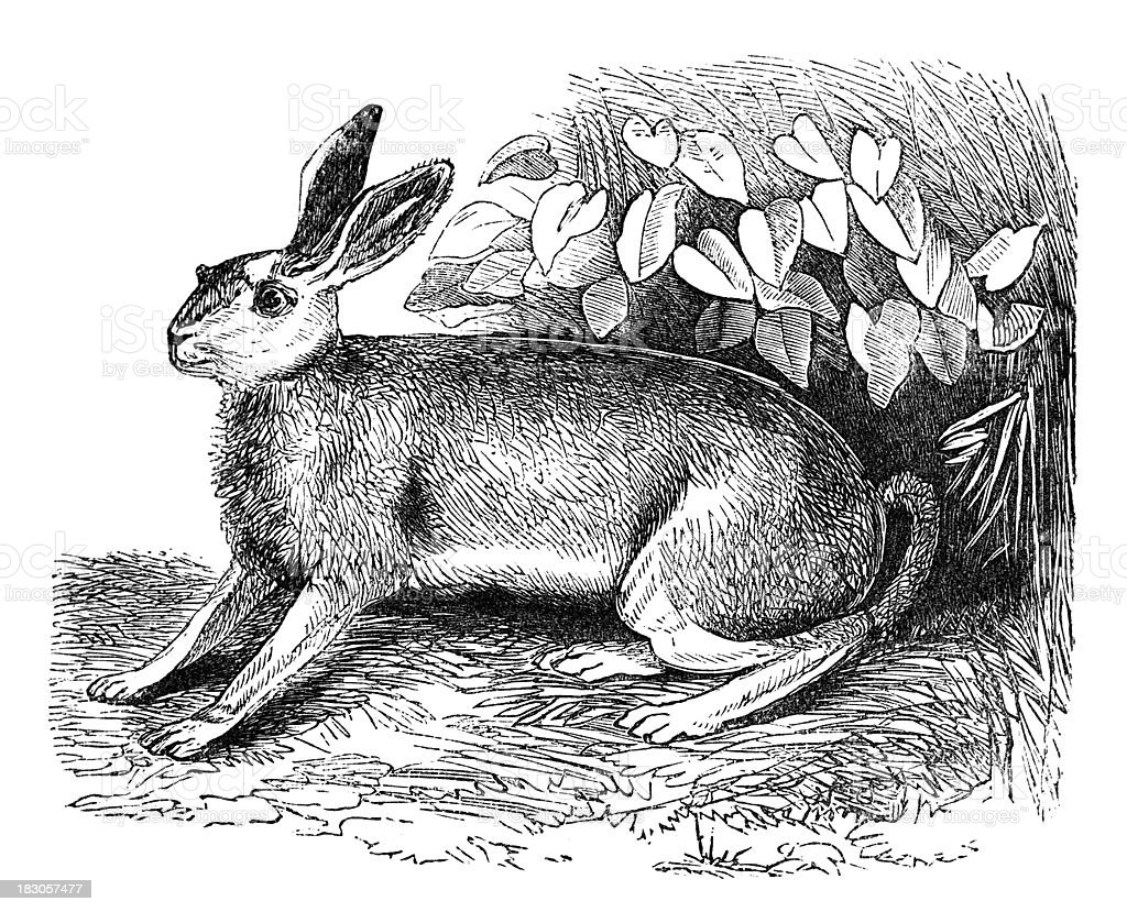 19th century engraving of a hare royalty-free stock vector art