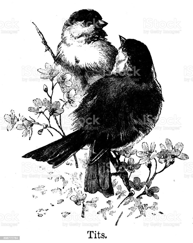 19th century engraving of a pair of Tits sat in a tree brach; Victorian nature birds and rural scenes 1890 vector art illustration