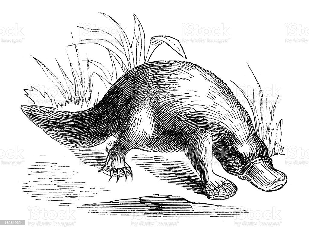 19th century engraving of a platypus royalty-free stock vector art