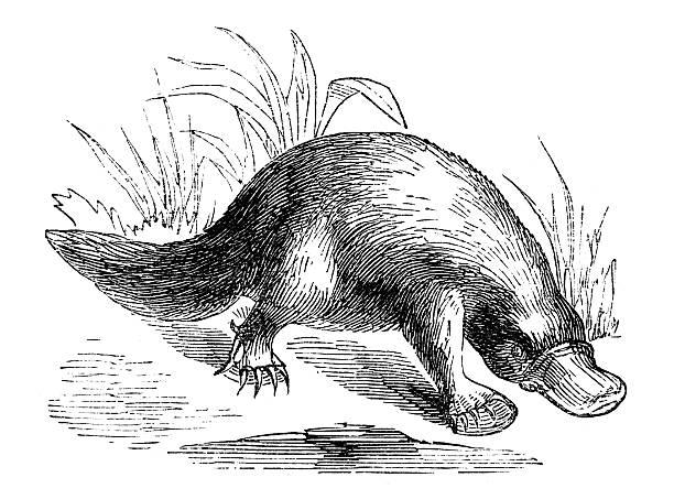 bildbanksillustrationer, clip art samt tecknat material och ikoner med 19th century engraving of a platypus - platypus