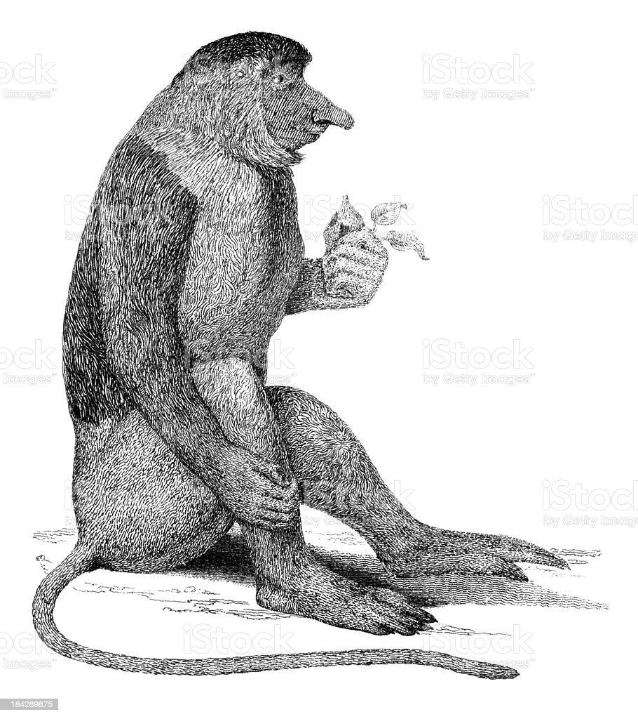 19th century engraving of a proboscis monkey vector art illustration