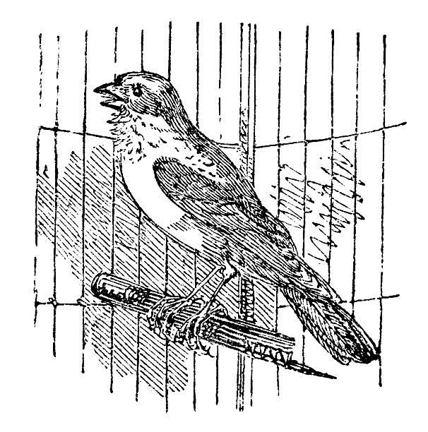 illustrations, cliparts, dessins animés et icônes de 19 ème siècle gravure de chanter canary - dessin cage a oiseaux