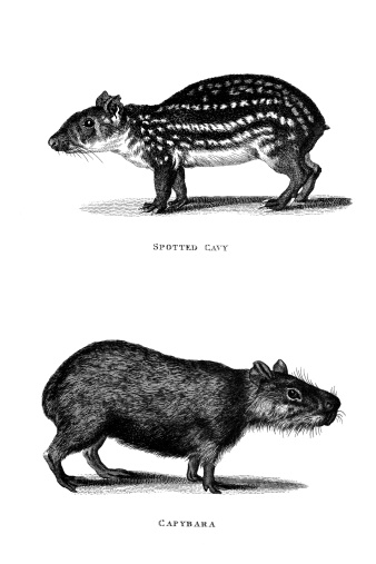 19th century engraving of a 'Spotted Cavy' and 'Capybara'