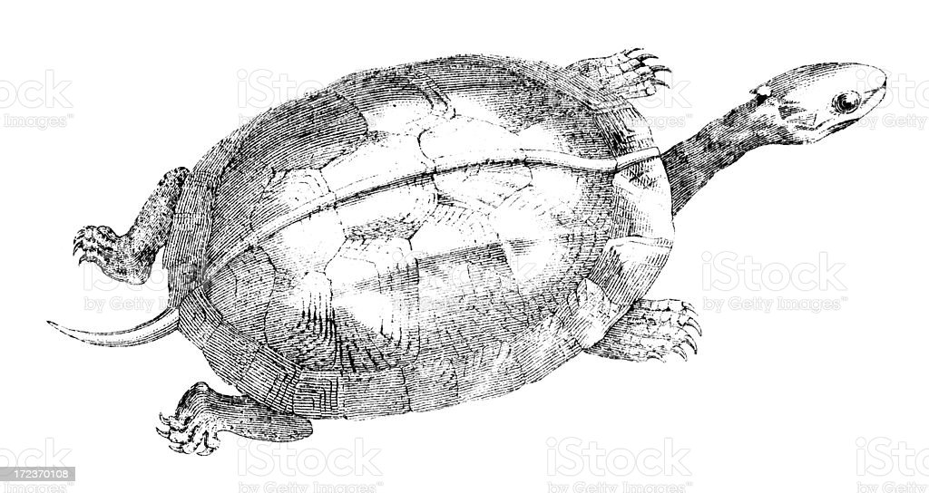 19th century engraving of a turtle or box tortoise royalty-free stock vector art