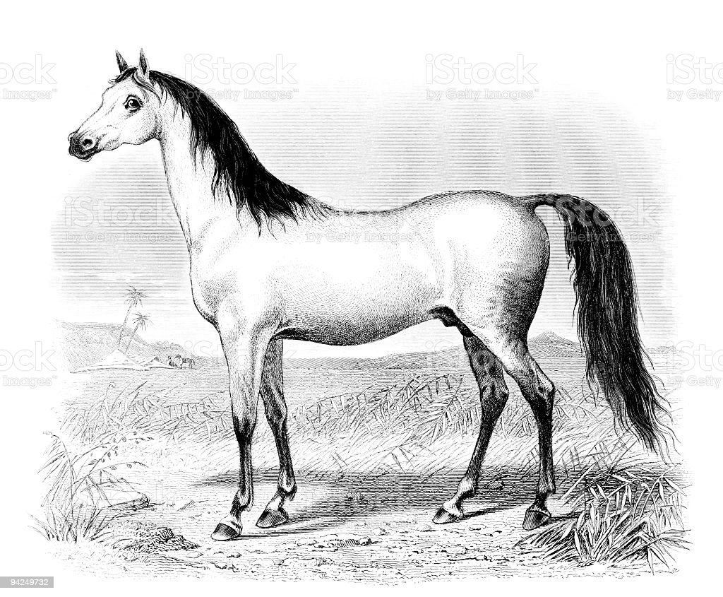 19th century engraving of an Arabian horse vector art illustration