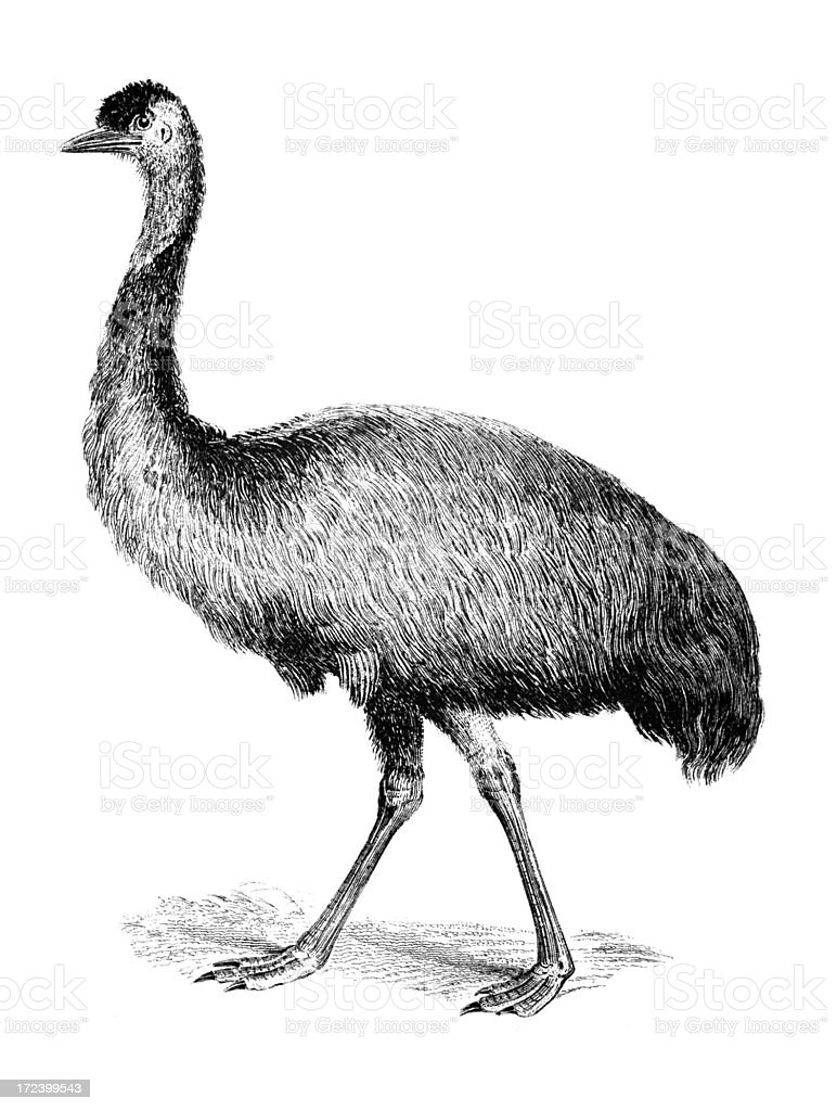 19th Century Engraving Of An Emu Stock Vector Art U0026 More Images Of Animal 172399543 | IStock