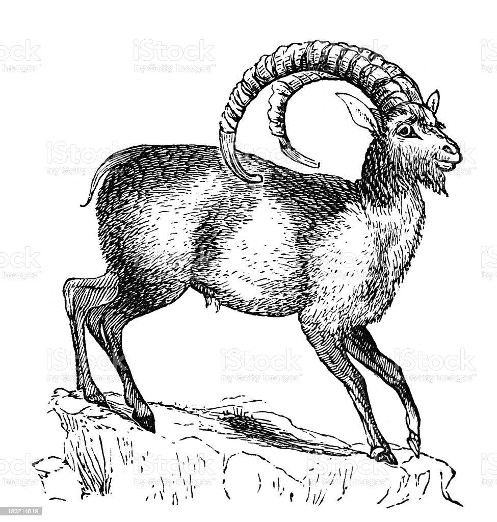 19 ème siècle gravée d'un Bouquetin - Illustration vectorielle