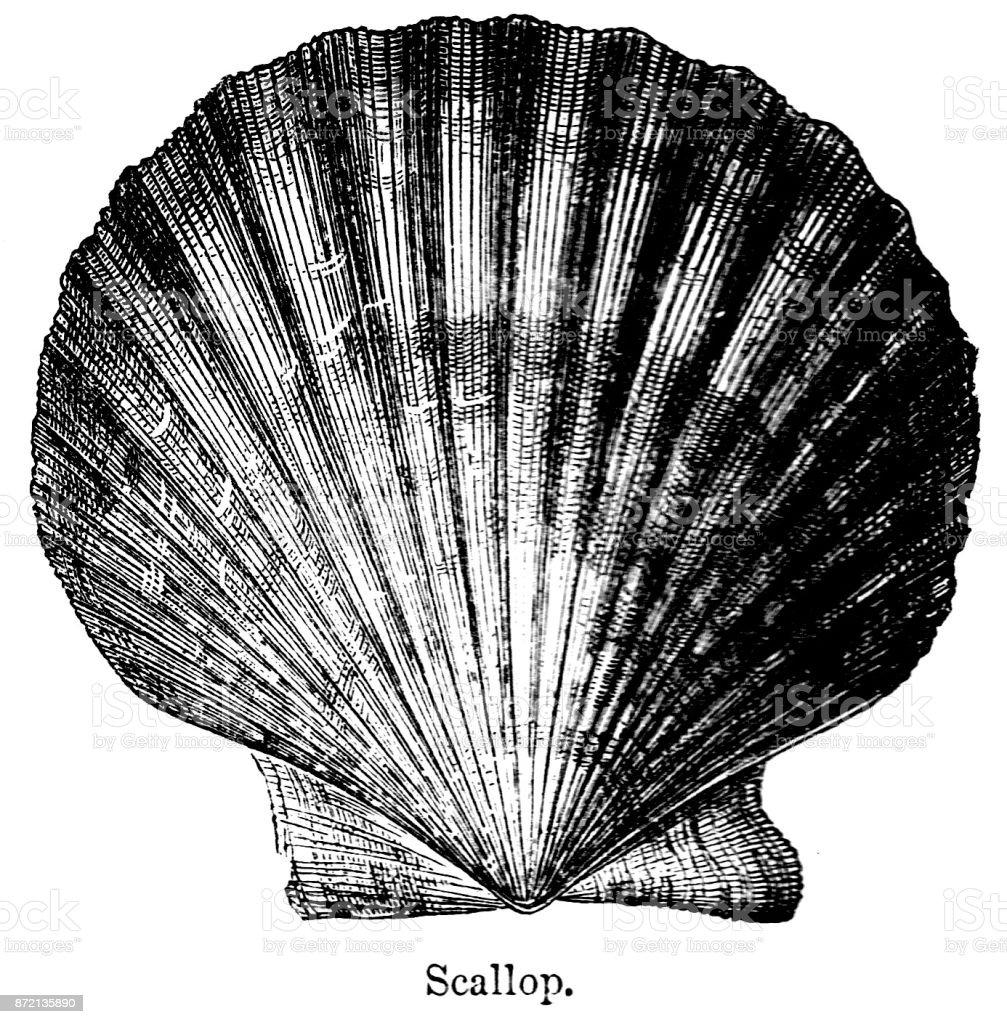 ホタテ貝19 世紀の彫刻ビクトリア朝の海の貝殻や自然の世界 1890 19