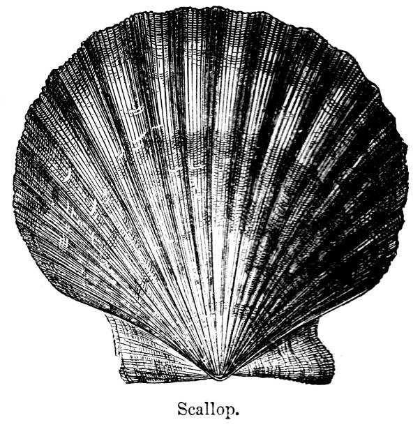 19th century engraving of 'Scallop' shell. ; Victorian sea shells and the natural world 1890 vector art illustration