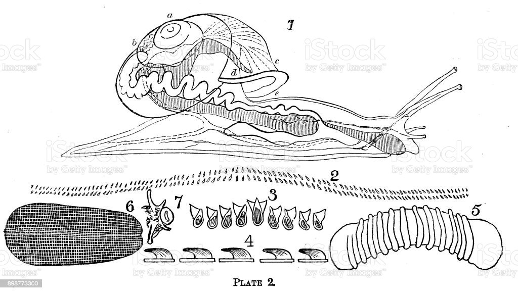 19th Century Engraving Of The Inside Of A Snail Body Victorian Love ...