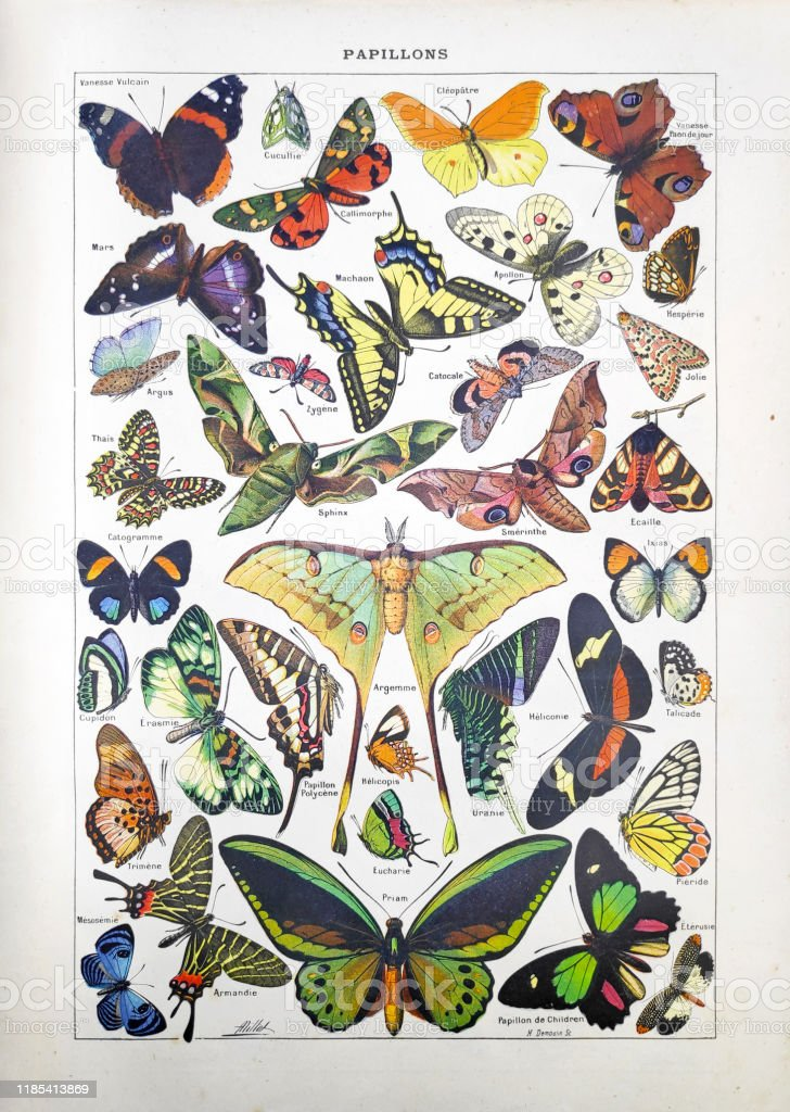 "19th century illustration about butterflies Old illustration about butterflies by Adolphe Philippe Millot and engraved by Demoulin printed in the french dictionary ""Dictionnaire complet illustré"" by the editor Larousse in 1889. 19th Century stock illustration"