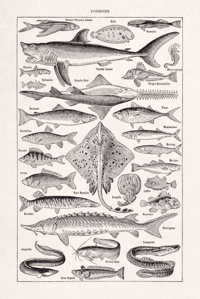 19th century illustration about fishes vector art illustration
