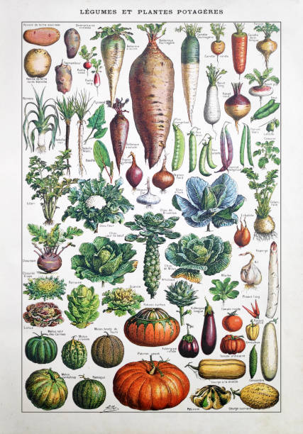 19th century illustration about garden vegetables vector art illustration