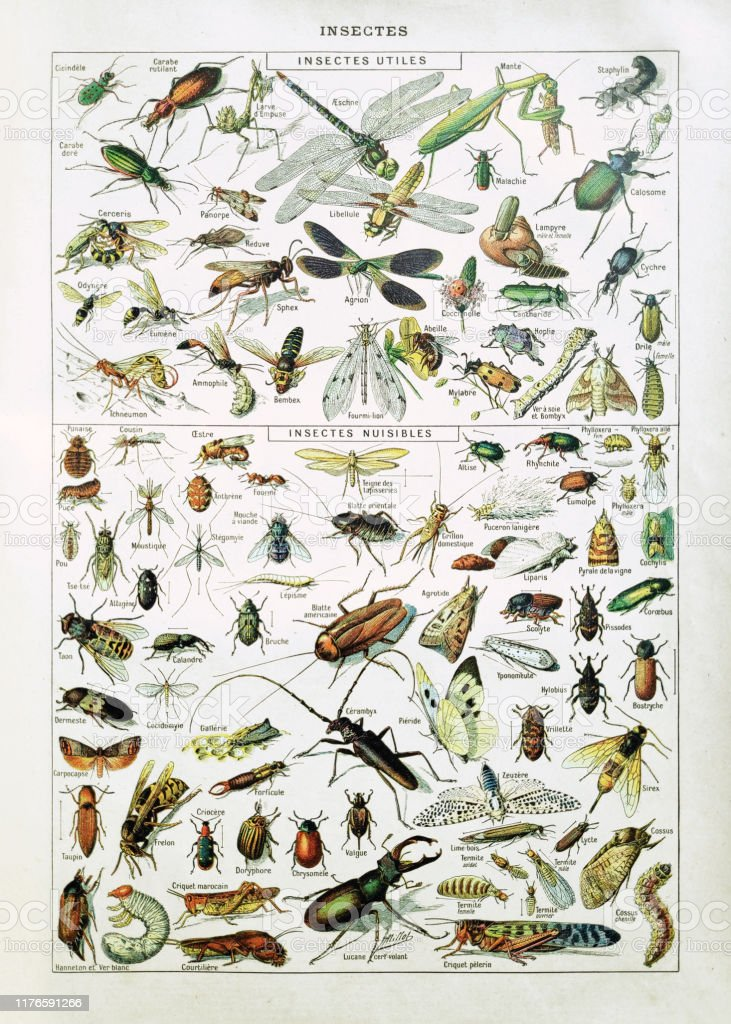 """19th century illustration about insects Old illustration about insects by Adolphe Philippe Millot printed in the french dictionary """"Dictionnaire complet illustré"""" by the editor Larousse in 1889. Adolphe Philippe Millot (1 May 1857, Paris """"u201318 December 1921, also Paris) was a French painter, lithographer and entomologist who illustrated many of the natural history sections of Petit Larousse. He was the senior illustrator at the Muséum national d'histoire naturelle as well as a member of the Salon des Artistes Francaise (honourable mention, 1891) and the Société entomologique de France. 19th Century stock illustration"""