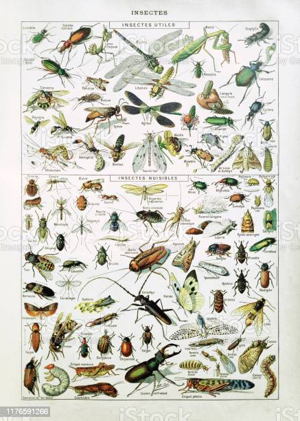19th Century Illustration About Insects Stock Illustration - Download Image Now