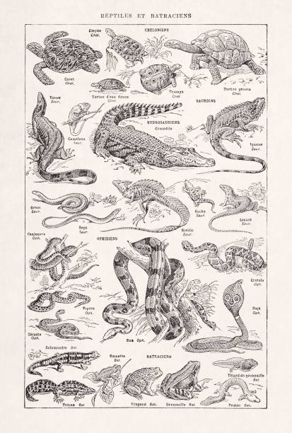 19th century illustration about reptiles vector art illustration