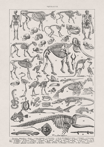 19th century illustration about skeletons