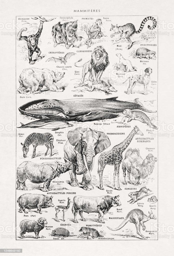 19th century illustration about wild mammals - Royalty-free 19th Century stock illustration