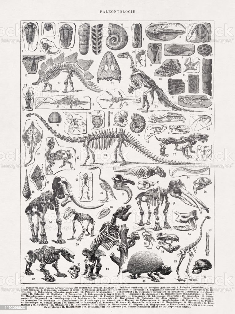 """19th century illustration Paleontology Old illustration about the Skeletons in paleontology printed in the french dictionary """"Dictionnaire complet illustré"""" by the editor Larousse in 1889 19th Century stock illustration"""