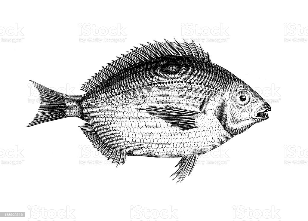 19th century illustration Sheepshead fish royalty-free stock vector art
