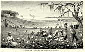 19th Century North America -  Harvesting cotton in Louisiana