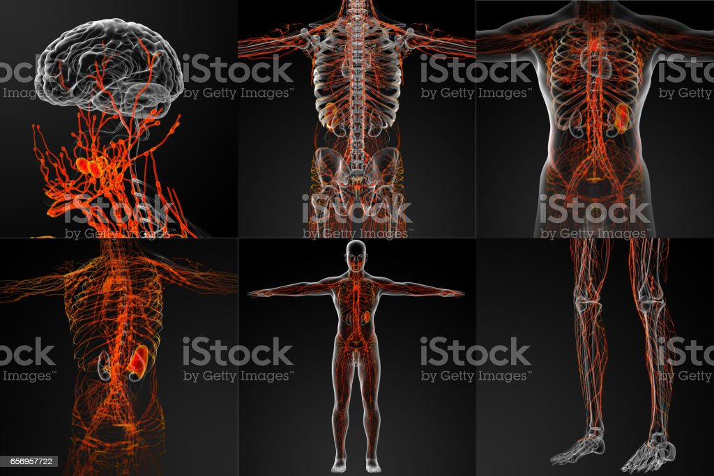 3d Rendering Of The Lymphatic System Stock Vector Art More Images