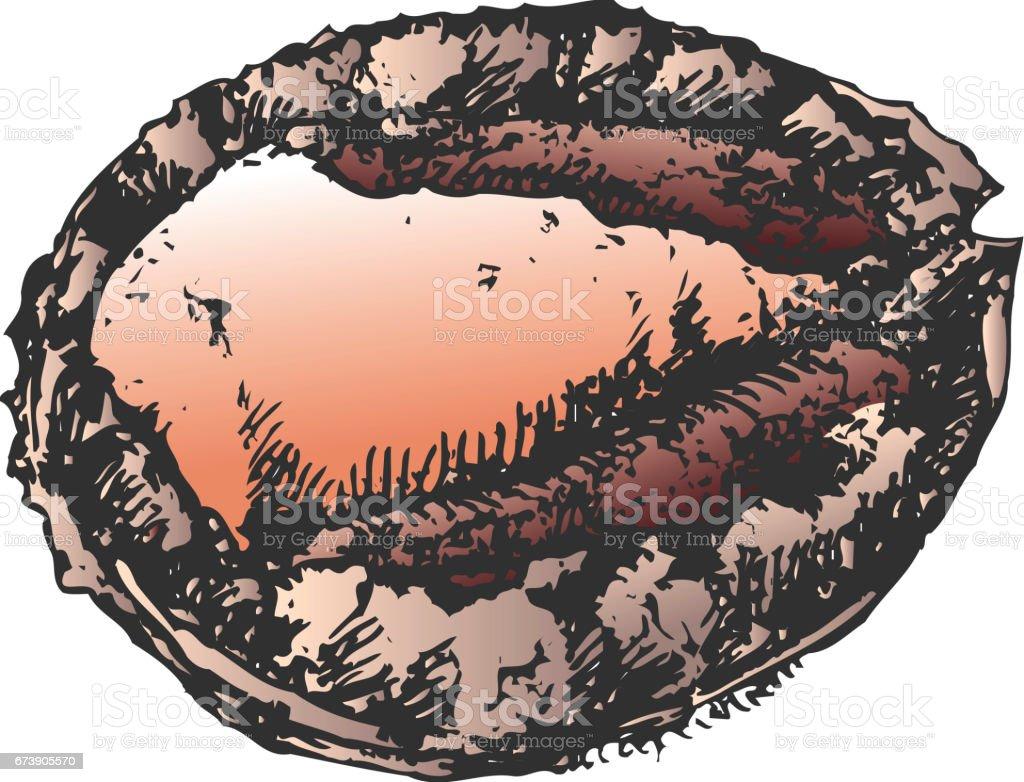 Abalone Haliotis diversicolor vector art illustration