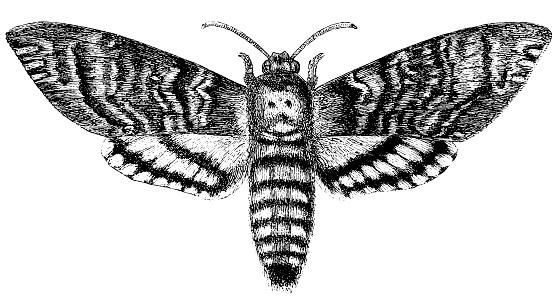 Acherontia Atropos (mariposa halcón cabeza de la muerte)