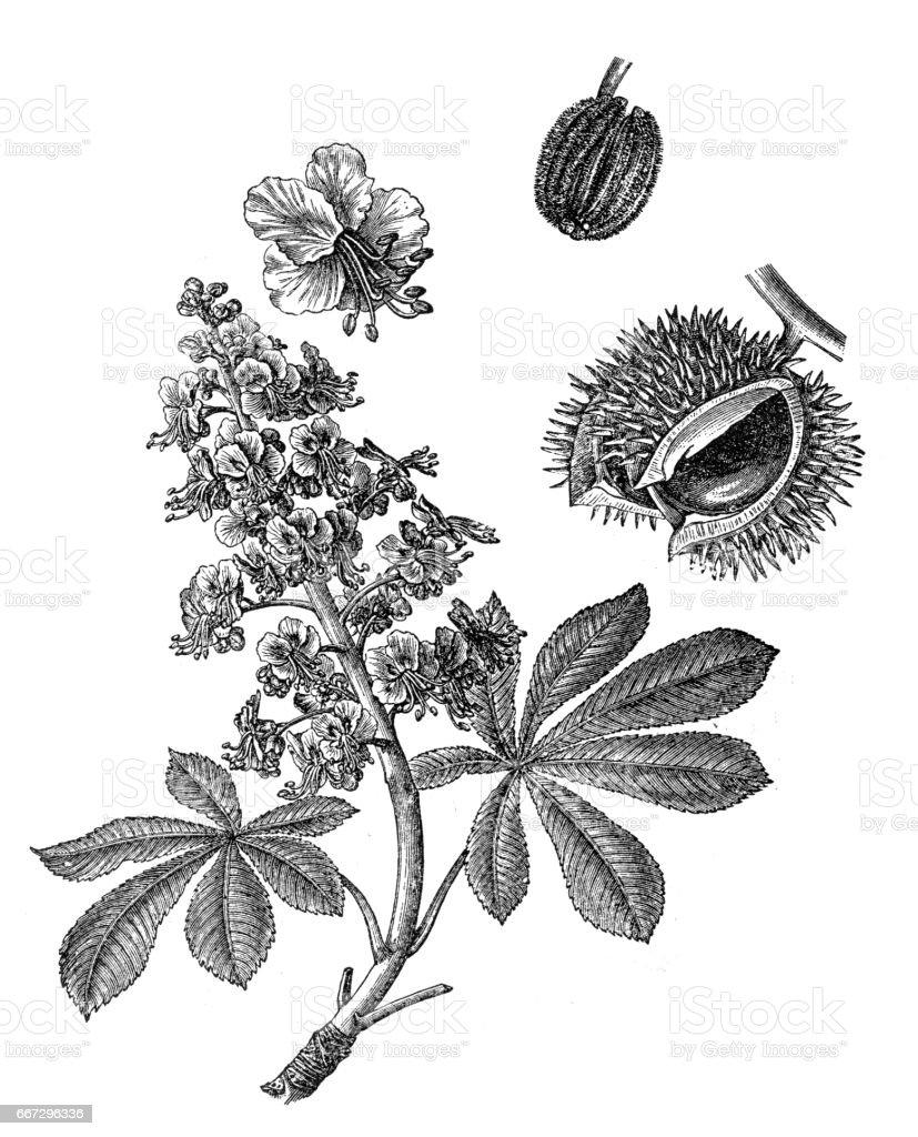 Aesculus hippocastanum (horse-chestnut, conker tree) vector art illustration