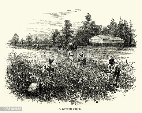 Vintage engraving of African americans harvisting crop in a cotton field, cotton in a field, on a cotton plantation, 19th Century