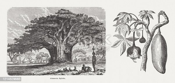 African baobab (Adansonia digitata). Right side: blossom and fruit. Wood engravings, published in 1893.