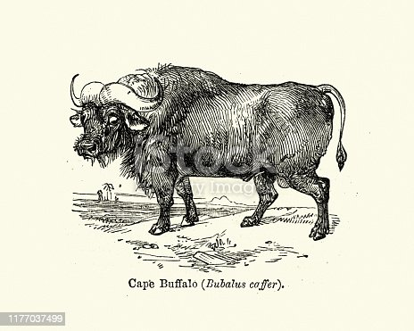 Vintage engraving of a African buffalo or Cape buffalo is a large Sub-Saharan African bovine. Syncerus caffer caffer, the Cape buffalo, is the typical subspecies, and the largest one, found in Southern and East Africa.