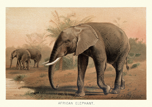 Vintage illustration of a African bush elephant (Loxodonta africana), also known as the African savanna elephant, is the largest living terrestrial animal