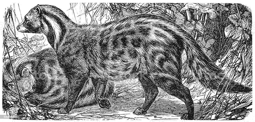 African Civet (Civettictis civetta) vector art illustration