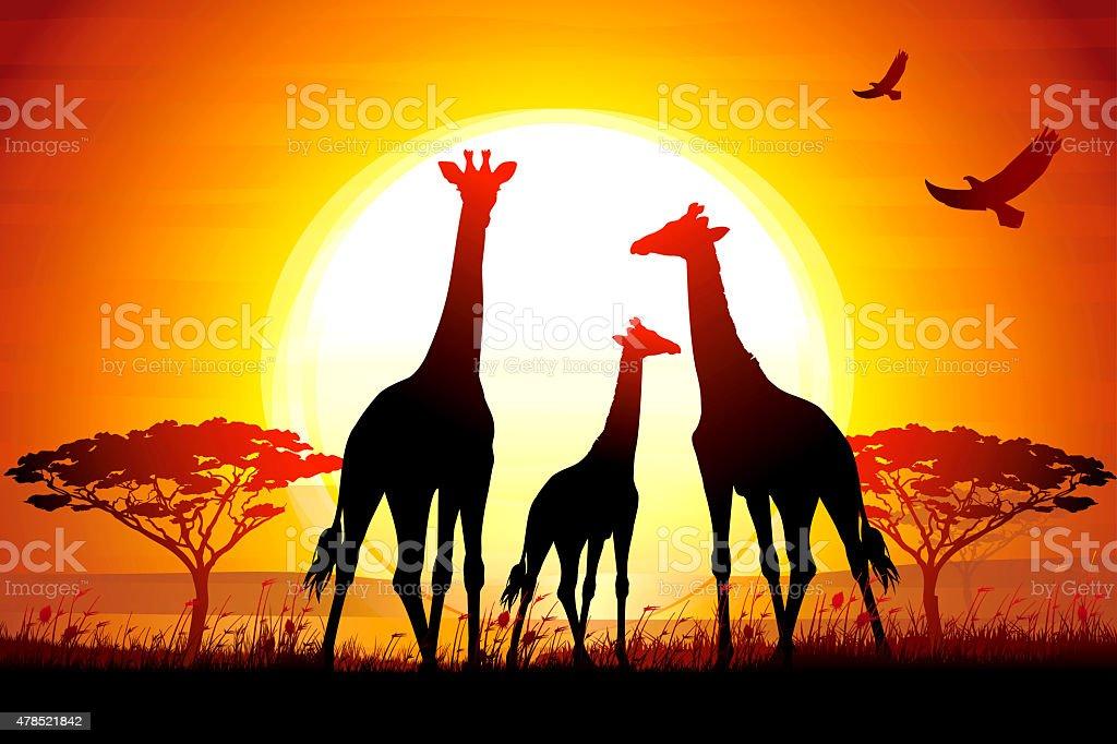 African Giraffes at the sunset wildlife scenery vector art illustration