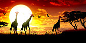 African Giraffes silhouettes safari against hot sun.