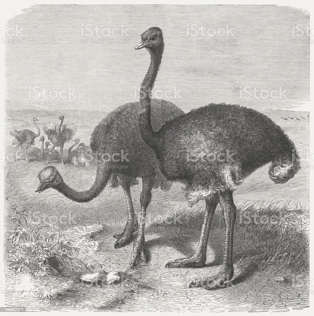 African ostriches (Struthio camelus), wood engraving, published in 1864 royalty-free stock vector art