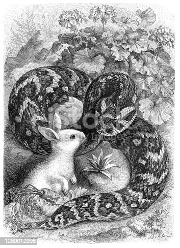 istock African puff adder attacking cute little white bunny illustration 1280012998