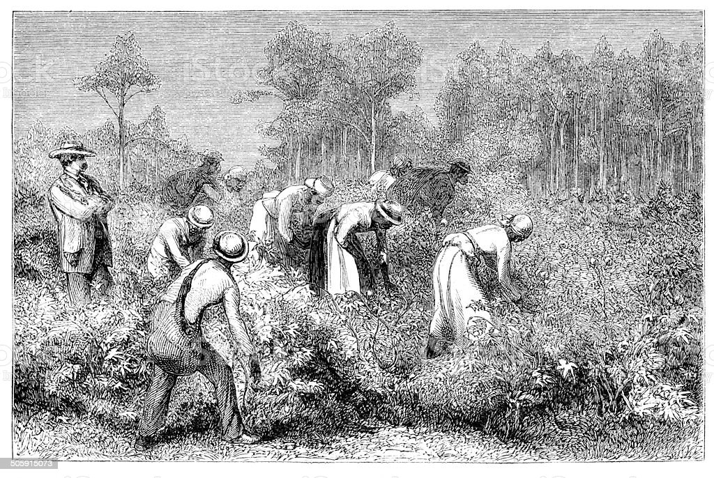 African slaves harvesting cotton 1868 vector art illustration
