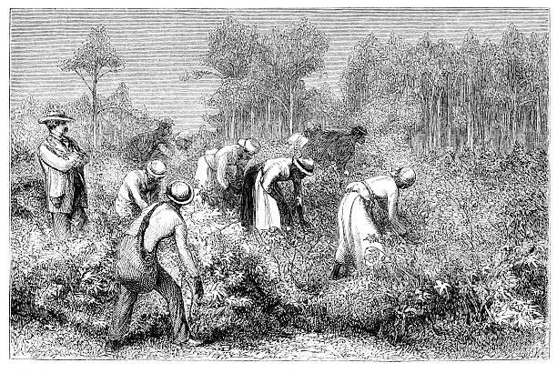 African slaves harvesting cotton 1868 vector art illustration
