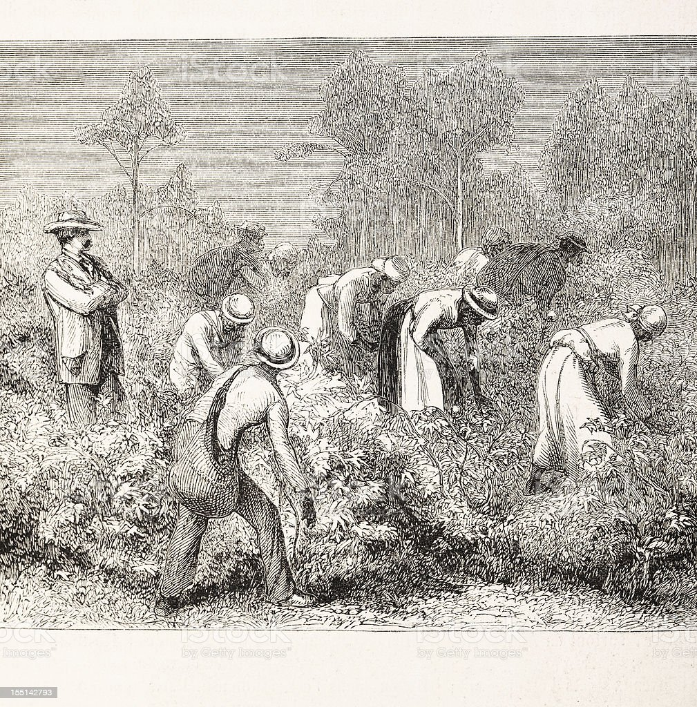 African slaves harvesting cotton 1875 vector art illustration