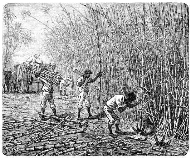 African slaves processing sugar cane vector art illustration